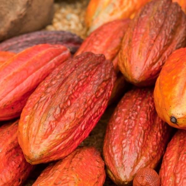 cocoa trinitario